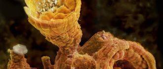 Сульфид мышьяка(V)